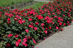 Knock Out® Rose (Rosa 'Radrazz') at Westwood Gardens