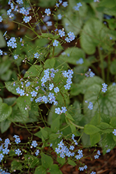 Alexander's Great Bugloss (Brunnera macrophylla 'Alexander's Great') at Westwood Gardens