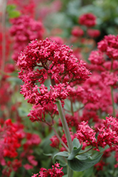 Red Valerian (Centranthus ruber) at Westwood Gardens