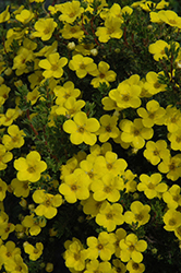 Gold Drop Potentilla (Potentilla fruticosa 'Gold Drop') at Westwood Gardens
