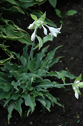 Joy Ride Hosta (Hosta 'Joy Ride') at Westwood Gardens