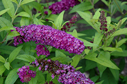 Crown Jewels Butterfly Bush (Buddleia 'Crown Jewels') at Westwood Gardens