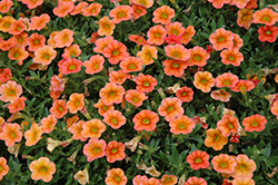 MiniFamous™ Orange Calibrachoa (Calibrachoa 'MiniFamous Orange') at Westwood Gardens