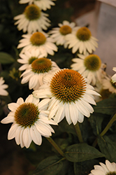 Snow Bomb Coneflower (Echinacea 'Snow Bomb') at Westwood Gardens
