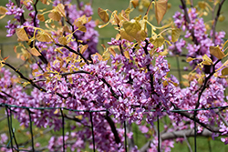 The Rising Sun Redbud (Cercis canadensis 'The Rising Sun') at Westwood Gardens