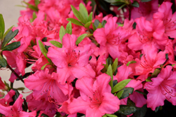 Girard's Rose Azalea (Rhododendron 'Girard's Rose') at Westwood Gardens
