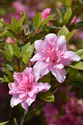Encore® Autumn Carnation™ Azalea (Rhododendron 'Roblec') at Westwood Gardens