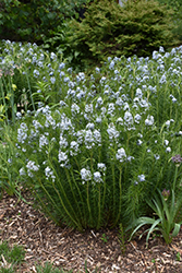 Narrow-Leaf Blue Star (Amsonia hubrichtii) at Westwood Gardens
