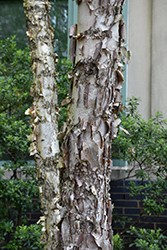 Dura Heat River Birch (Betula nigra 'Dura Heat') at Westwood Gardens