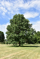 Swamp White Oak (Quercus bicolor) at Westwood Gardens