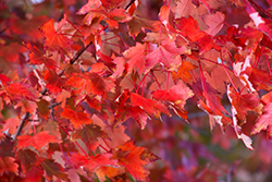 Autumn Radiance Red Maple (Acer rubrum 'Autumn Radiance') at Westwood Gardens
