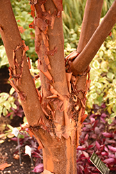 Paperbark Maple (Acer griseum) at Westwood Gardens
