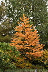 Golden Larch (Pseudolarix amabilis) at Westwood Gardens
