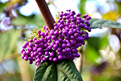 Profusion Beautyberry (Callicarpa bodinieri 'Profusion') at Westwood Gardens