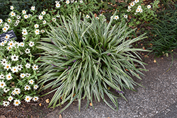 Silvery Sunproof Variegated Lily Turf (Liriope muscari 'Silvery Sunproof') at Westwood Gardens