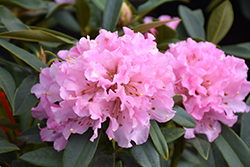 Christmas Cheer Azalea (Rhododendron 'Christmas Cheer') at Westwood Gardens