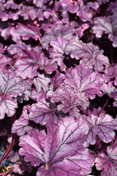 Forever® Purple Coral Bells (Heuchera 'Forever Purple') at Westwood Gardens
