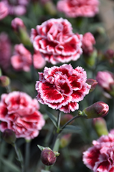 Scent First® Sugar Plum Pinks (Dianthus 'WP IAN04') at Westwood Gardens