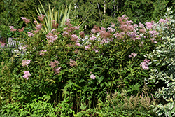 Venusta Queen Of The Prairie (Filipendula rubra 'Venusta') at Westwood Gardens