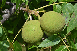Black Walnut (Juglans nigra) at Westwood Gardens
