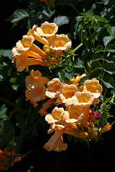 Yellow Trumpetvine (Campsis radicans 'Flava') at Westwood Gardens