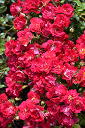 Red Drift® Rose (Rosa 'Meigalpio') at Westwood Gardens