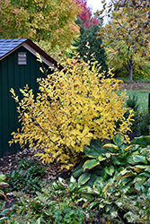 Vernal Witchhazel (Hamamelis vernalis) at Westwood Gardens