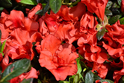 Encore® Autumn Embers™ Azalea (Rhododendron 'Conleb') at Westwood Gardens
