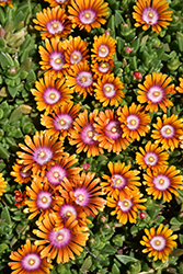 Fire Spinner Ice Plant (Delosperma 'Fire Spinner') at Westwood Gardens