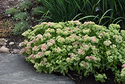 Autumn Delight Stonecrop (Sedum 'Autumn Delight') at Westwood Gardens