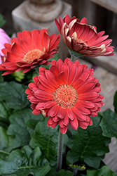 Red Gerbera Daisy (Gerbera 'Red') at Westwood Gardens