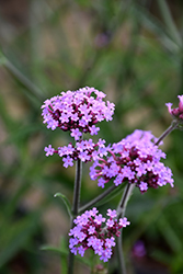 Lollipop Verbena (Verbena bonariensis 'Lollipop') at Westwood Gardens