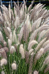 Fountain Grass (Pennisetum setaceum) at Westwood Gardens
